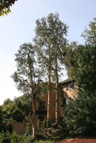 Picture taken of Eucalyptus trees after trimming.