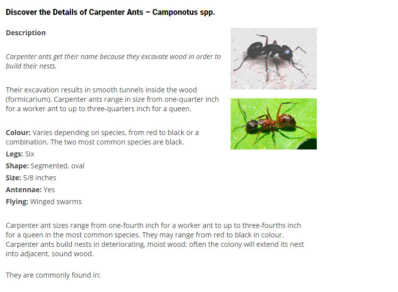 Pest Detective Ltd in North Vancouver: Discover the Details of Carpenter Ants – Camponotus spp.