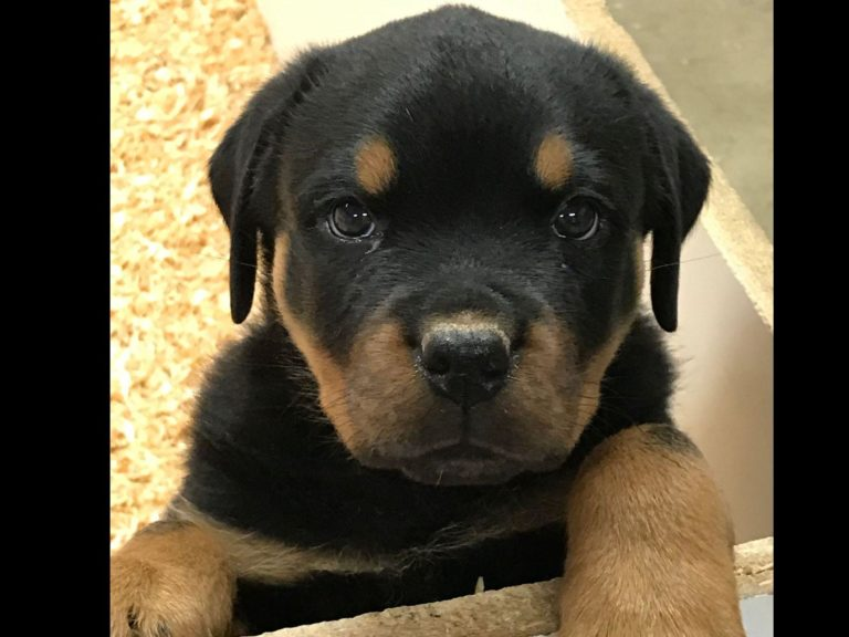 King Rottweilers image 4