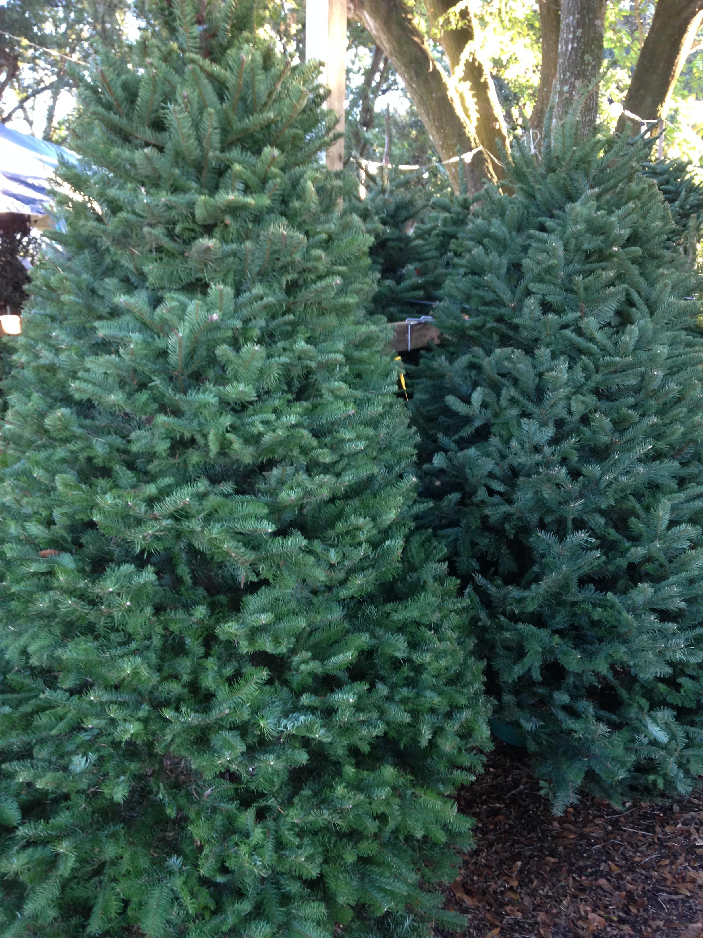 Dave's Christmas Tree Lot image 24