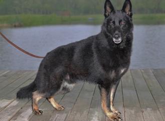 Von Dietrich German Shepherds, LLC image 5