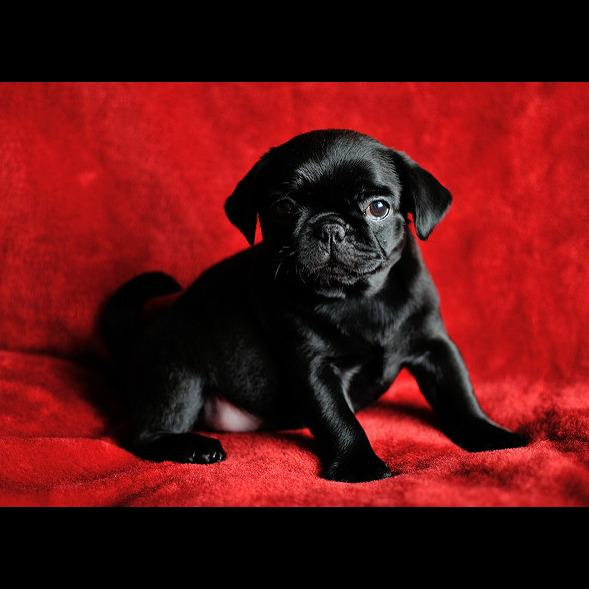 Valley Side Pug Puppies
