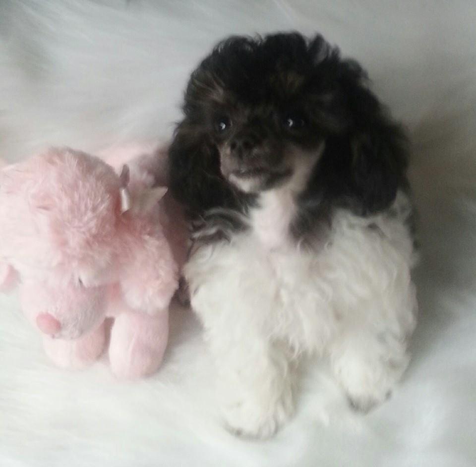 Puttin On The Ritz Poodles image 3