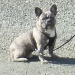 Umpqua Valley Kennels French Bulldogs image 4
