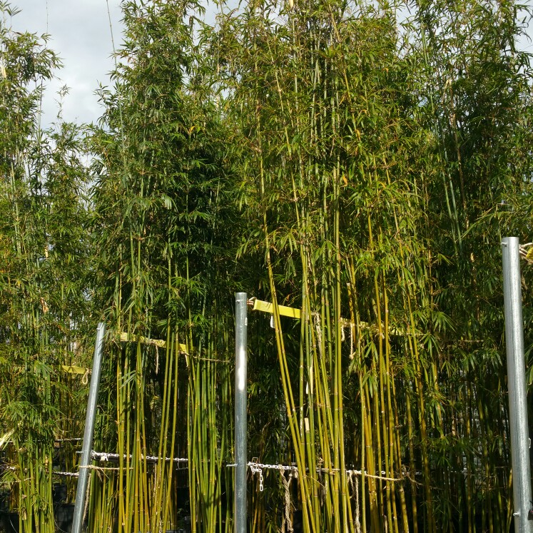 Bamboo Your Privacy
