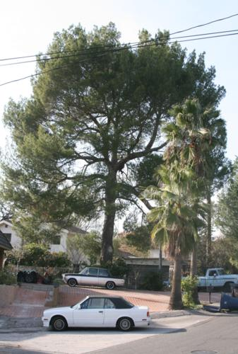 Picture taken of Elepo Pine before trimming.