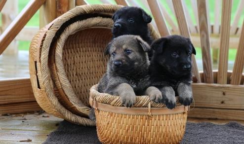 Von Dietrich German Shepherds, LLC image 4
