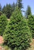 Olsommers Xmas Tree Farm - ad image