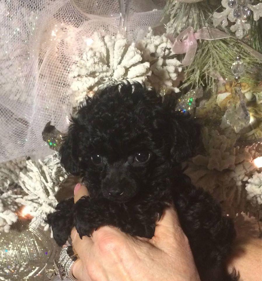 Puttin On The Ritz Poodles image 8