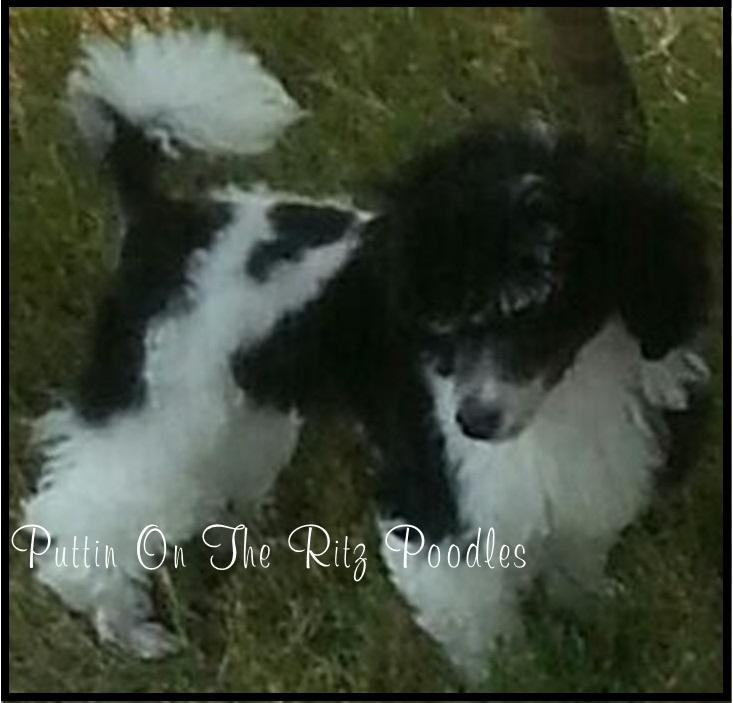Puttin On The Ritz Poodles image 15