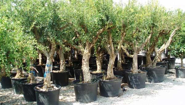 Vivai bruno vivai piante articoli da giardino al for Piante da frutto nord italia
