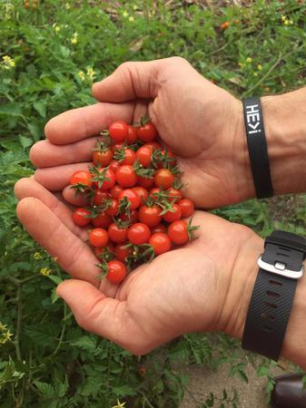Momentum Bay ENERGY STAR consultant Mark Alan Robinson getting a bit fit picking organic tomatoes so HE>i