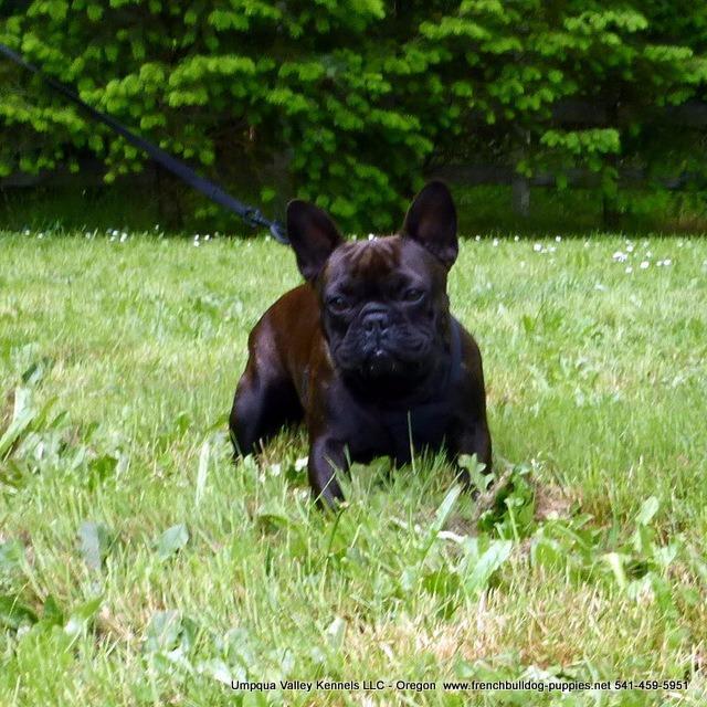 Umpqua Valley Kennels French Bulldogs image 1