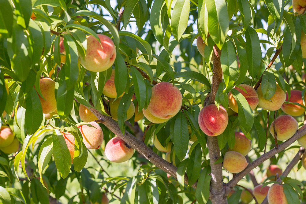 Moreland Fruit Farm image 15