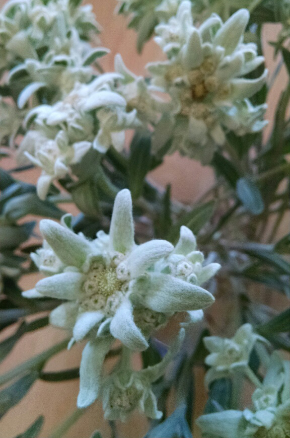 Florist santa monica la edelweiss flower boutique we have fresh edelweiss for the next 2 weeks from switzerland after that time we have to dry them and they are not as pretty mightylinksfo