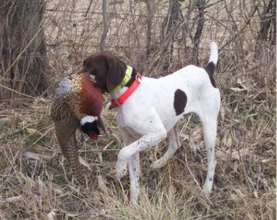 Hunting Dogs For Sale Wichita Ks