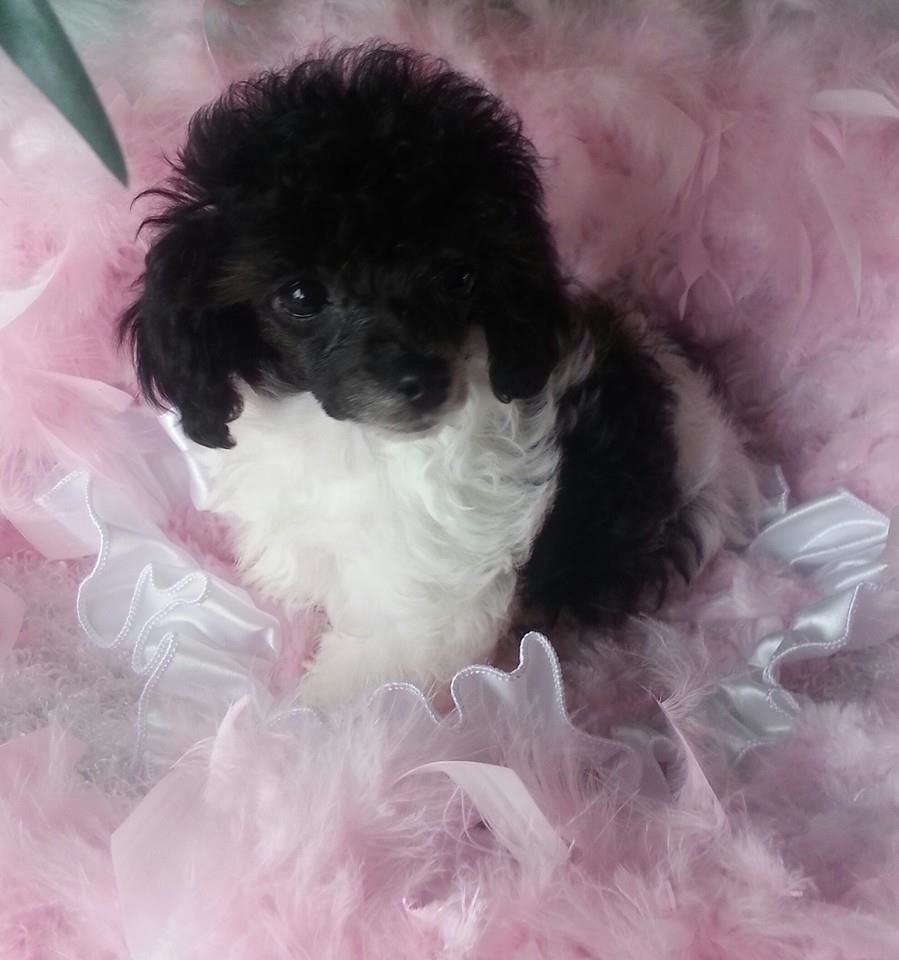 Puttin On The Ritz Poodles image 4