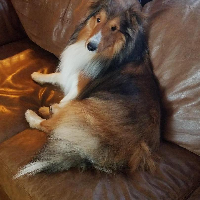 High Plains Sheltie and Border Collies