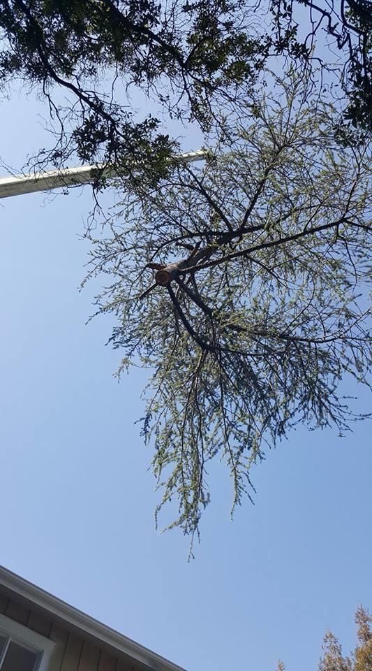 Crane removing Deodar cedar tree