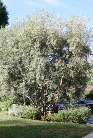 Olive tree before pruning.
