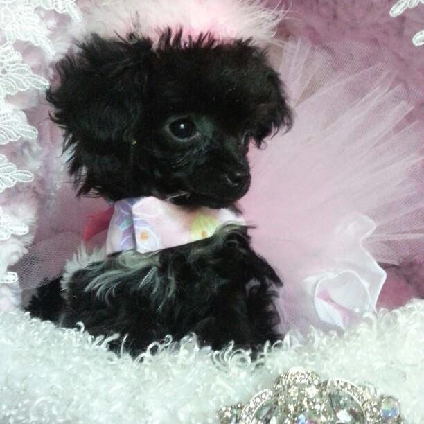 Puttin On The Ritz Poodles image 12