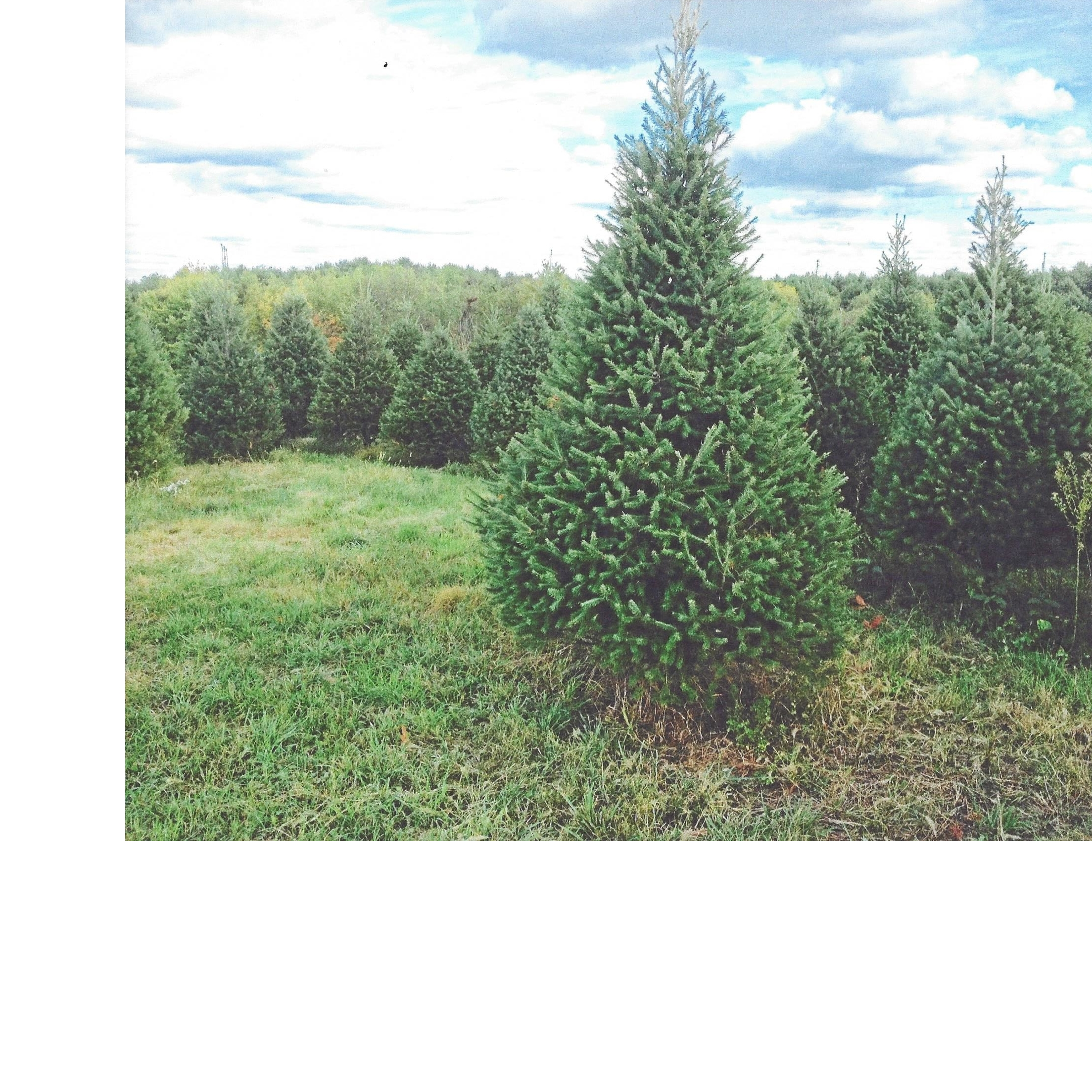 Christmas Tree Farms In Va