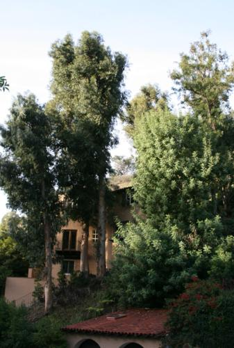 Picture taken of Eucalyptus trees before trimming.