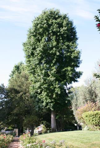 Amber tree before pruning.