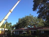 Removing an Oak tree in Sarasota Florida