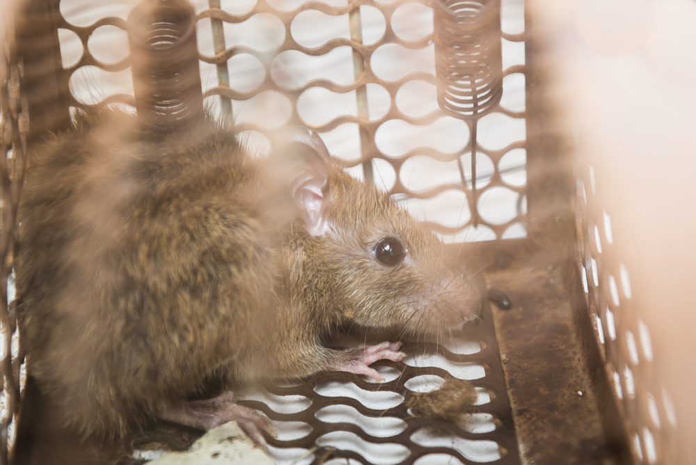As we know, rats can carry several different diseases that can cause harm to you and your family. In Auburn and Lee County, rats have come and gone and the best way to get rid of them is to call Leverett's Pest Control. We will get rid of them quickly and safely to make sure they don't come back anytime soon. Give us a call today at (334) 468-6272!