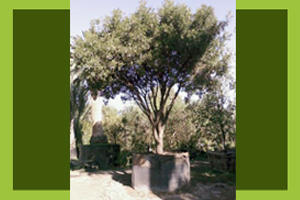 Alfaro Tree Sales Inc image 6