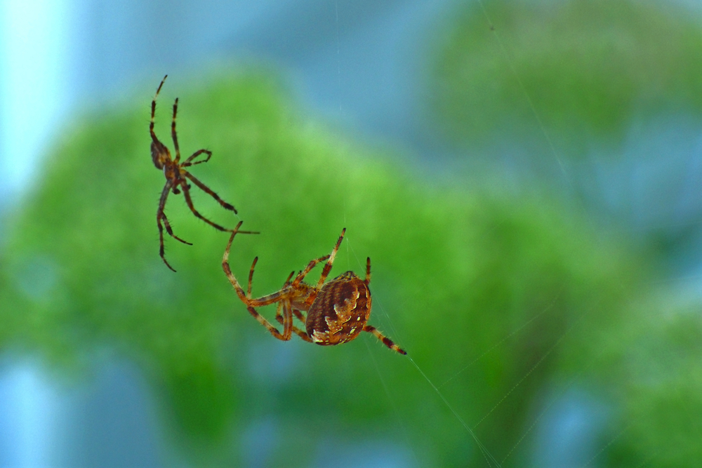 Do you have a spider problem? Leverett's Pest Control in Auburn can detect and remove any spider infestation you may have. Instead of trying to figure out if they are poisonous or not, play it safe and call Leverett's Pest Control and let us take care of it!