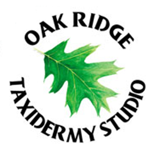 Oak Ridge Taxidermy Studio image 10