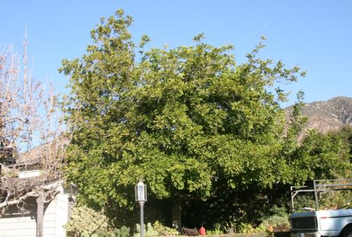 Picture taken of Cupania tree before trimming.