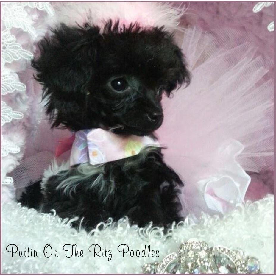Puttin On The Ritz Poodles image 27