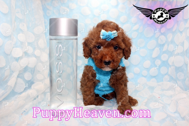 Puppy Heaven Teacup Amp Toy Puppies For Sale Closed In