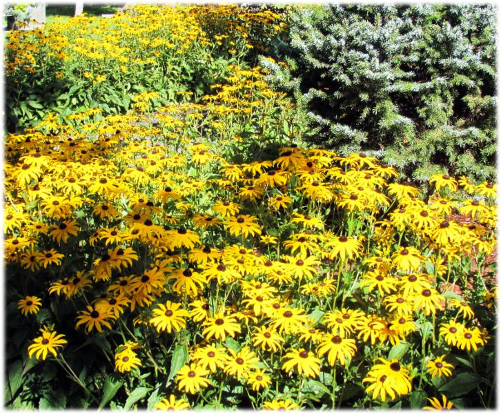 Compassionate Care Funerals in Williams Lake: Black Eyed Susans