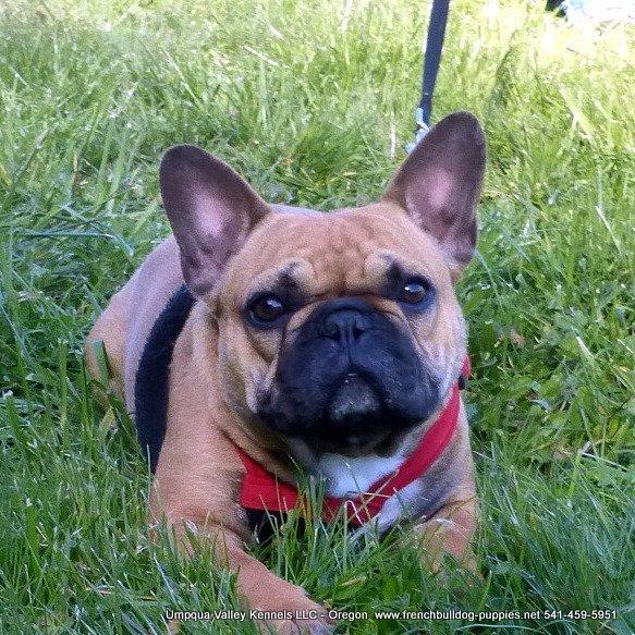 Umpqua Valley Kennels French Bulldogs image 0