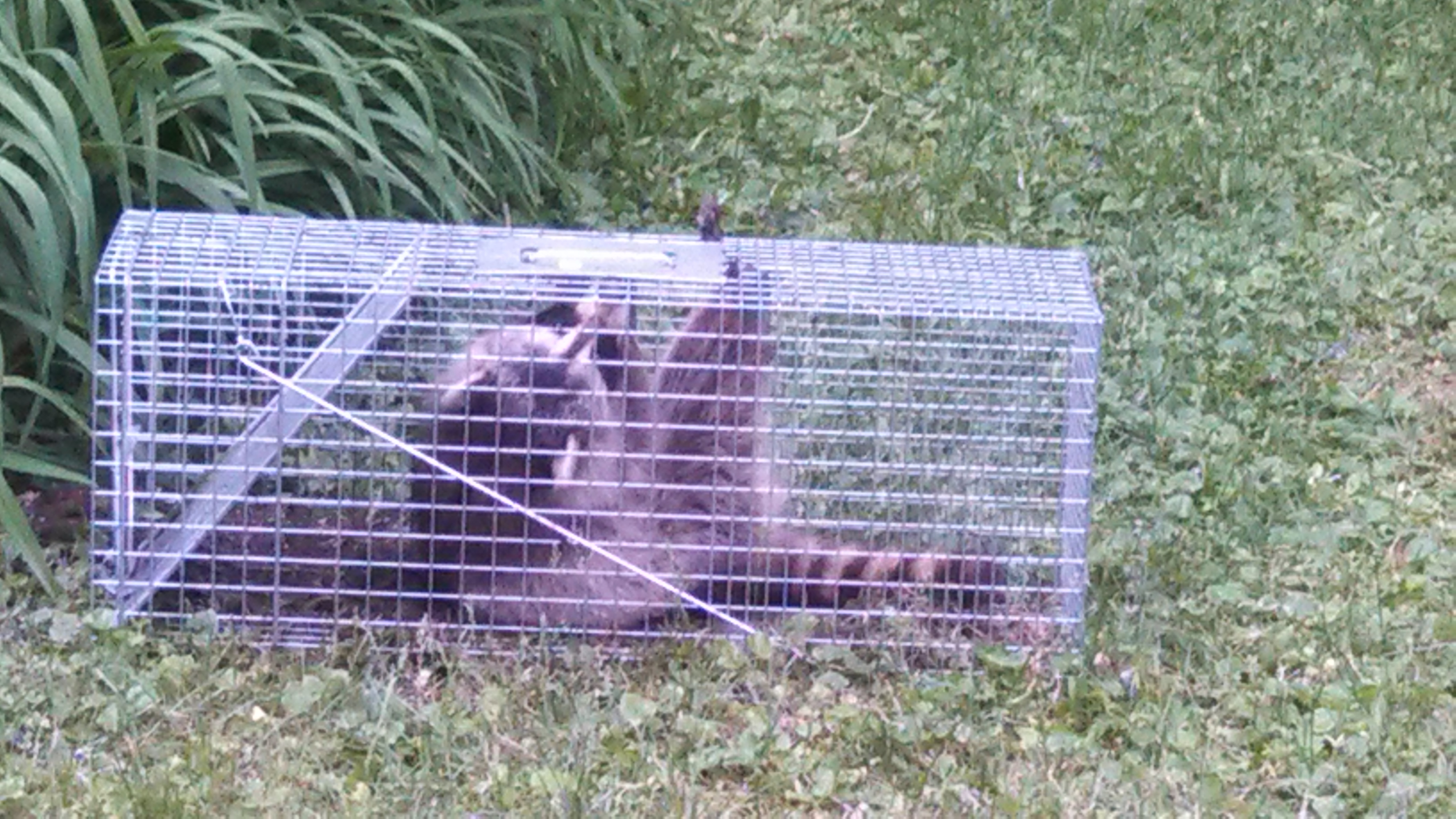 trapping nuisance racoons in america as an extremely profitable business We carry large selection of effective raccoon nuisance control products  found throughout north america, raccoons are a problem for home owners all over .