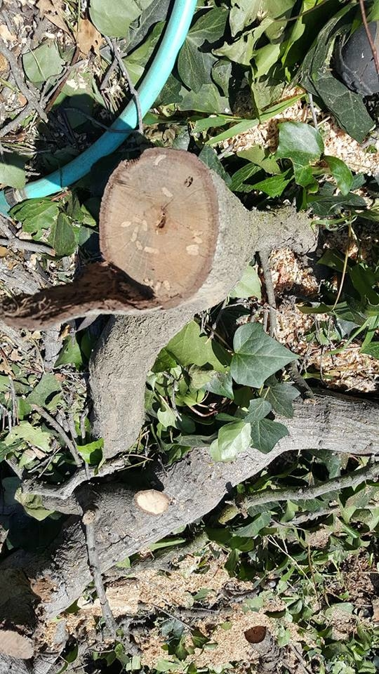 These dead oak logs show that this oak died in part from  Goldspotted oak borer beetles.