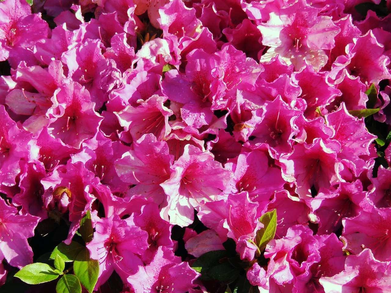 Azaleas in Bloom