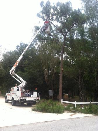 Trimming a pine in Sarasota