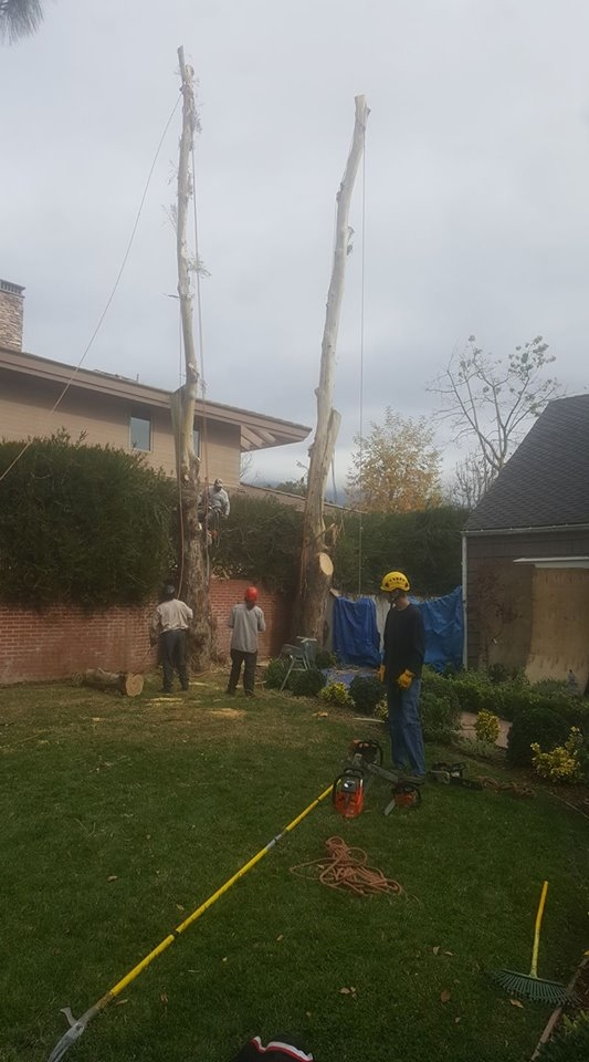 Eucalyptus trees have had their limbs safely removed during removal. Ropes and special rigging is used to remove the larger main trunks.