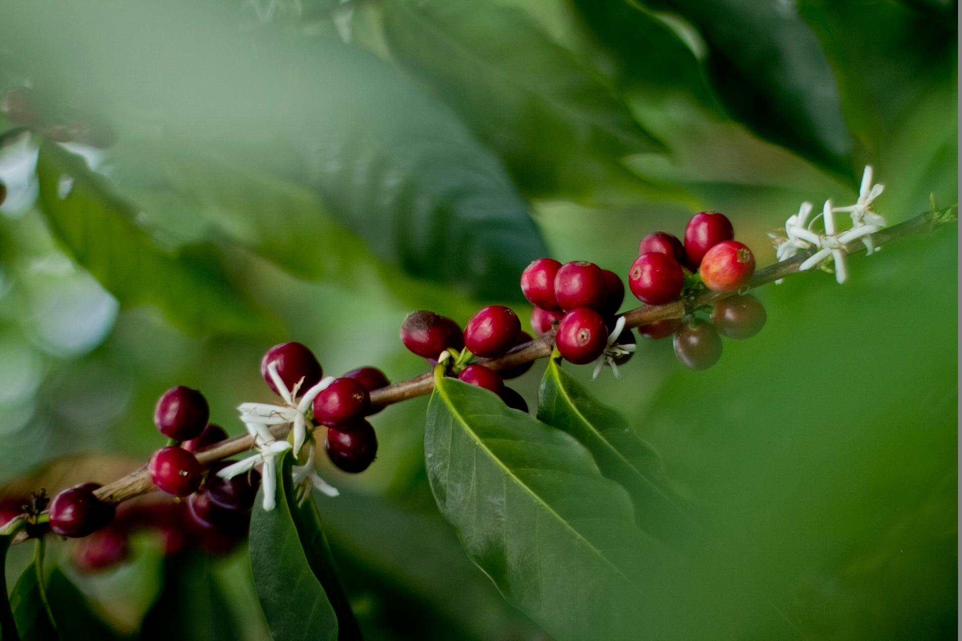 Kona Farm Direct Coffee image 14