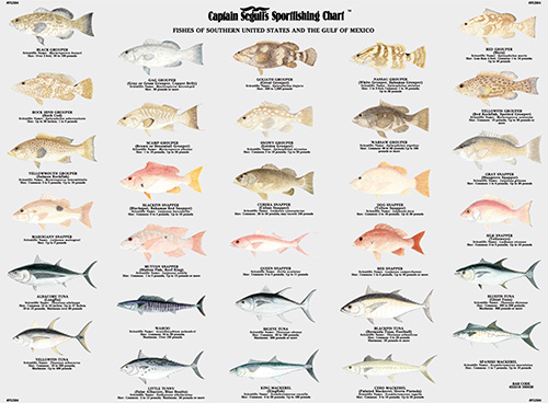 Captain segull fishing charts business directory for Gulf fish species