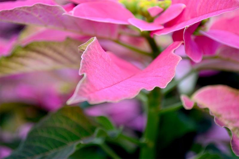 Zardi ingrosso piante fiori e piante naturali - Fratelli ingegnoli piante ...