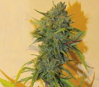 Marijuana for sale online