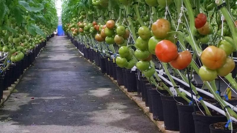 Les Serres Vaudreuil Inc in Vaudreuil-Dorion: Tomatoes production.