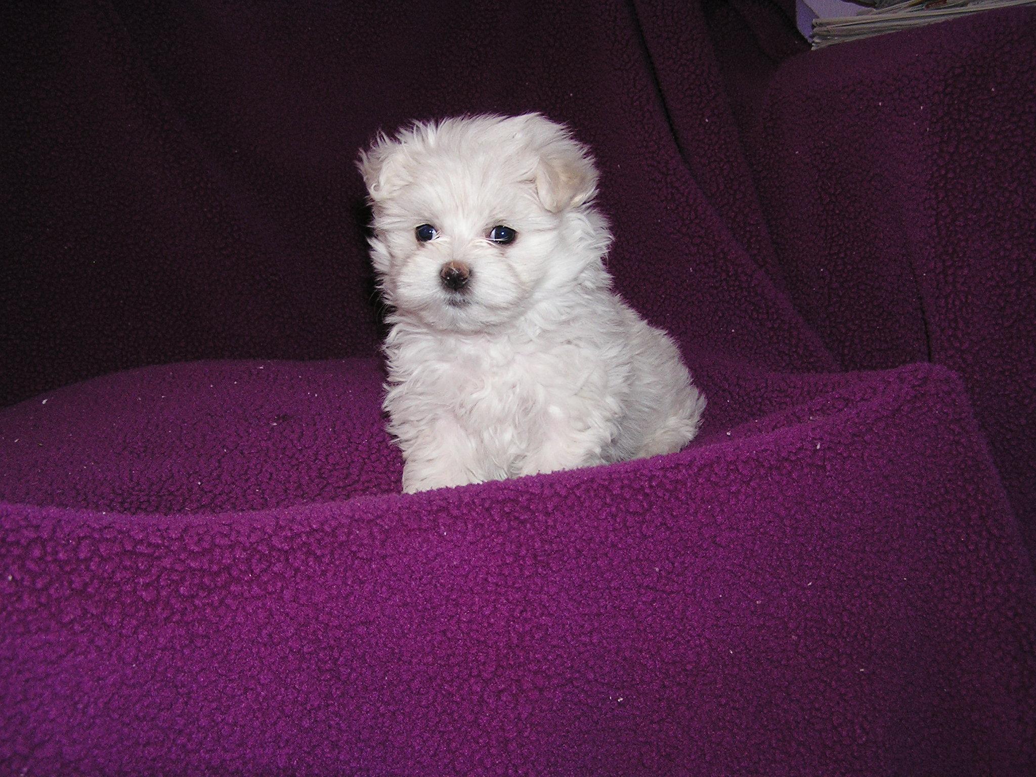 Minnie Sue's Maltese Puppies image 0