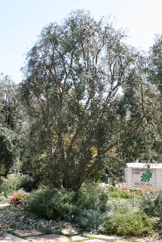 Olive tree after pruning.